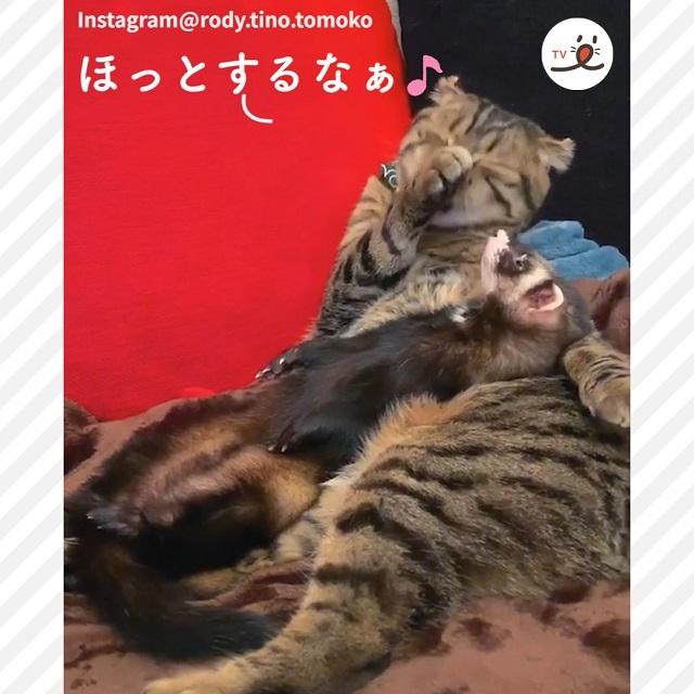 ウトウトと居眠りをしている猫とフェレットの仲の良さにホッコリする☺️💗