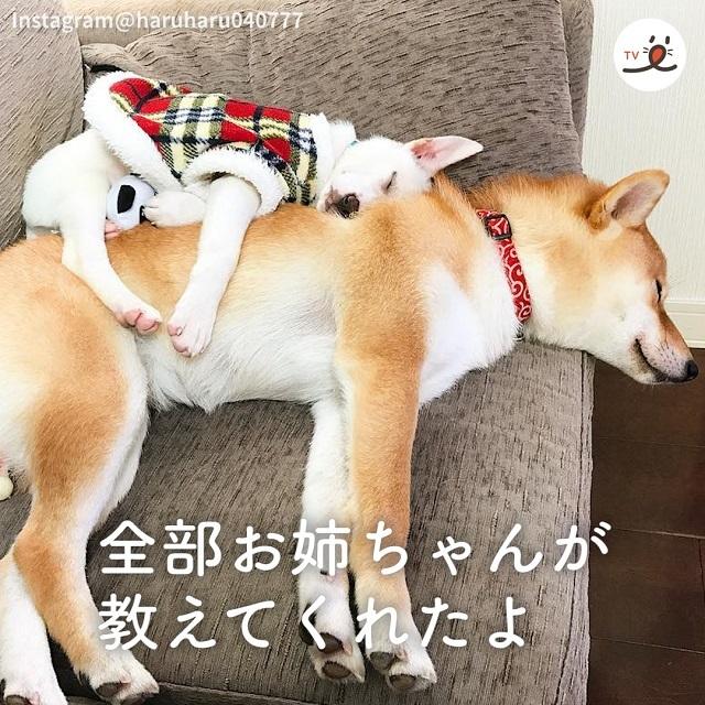 保護犬すずちゃんが、新しい家族の先住犬ハルちゃんとしあわせに暮らすお話🐕🥰