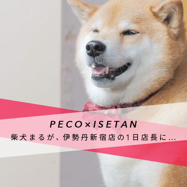 【PECO ✕ 伊勢丹新宿店】柴犬まるが、伊勢丹新宿店の1日店長に…🎍