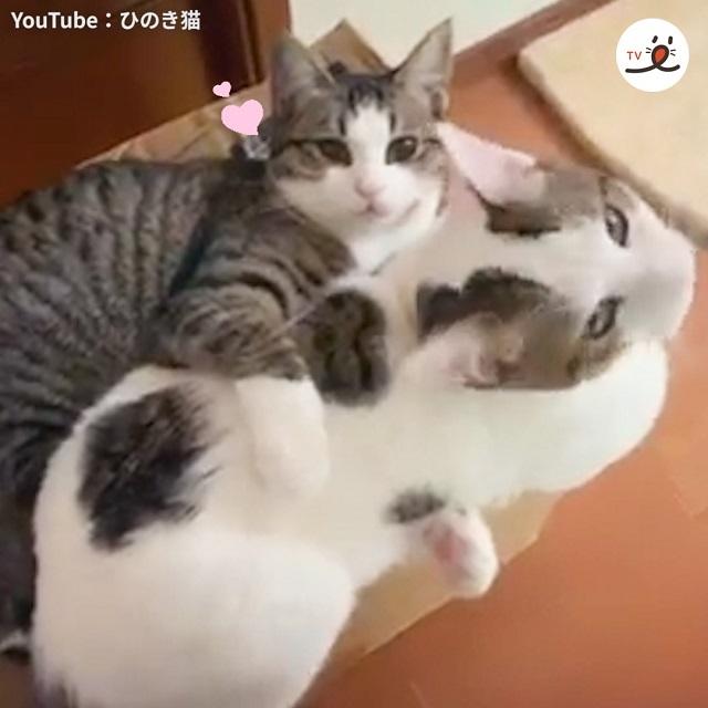 抱き枕はやっぱり本物に限る❣️ モフモフの生身のニャンコをむぎゅっ🐱💕