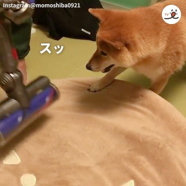 ワンッ!ワンッ!と掃除機からクッションを守る勇猛な柴犬ちゃん🐕✨