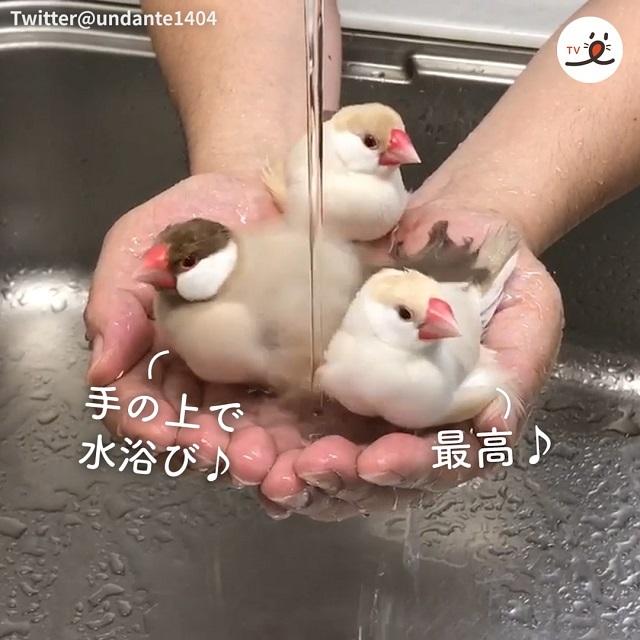 みんなでくっついて💓🐦 文鳥さんたちの、手のひら水浴びタイム🛁🎶