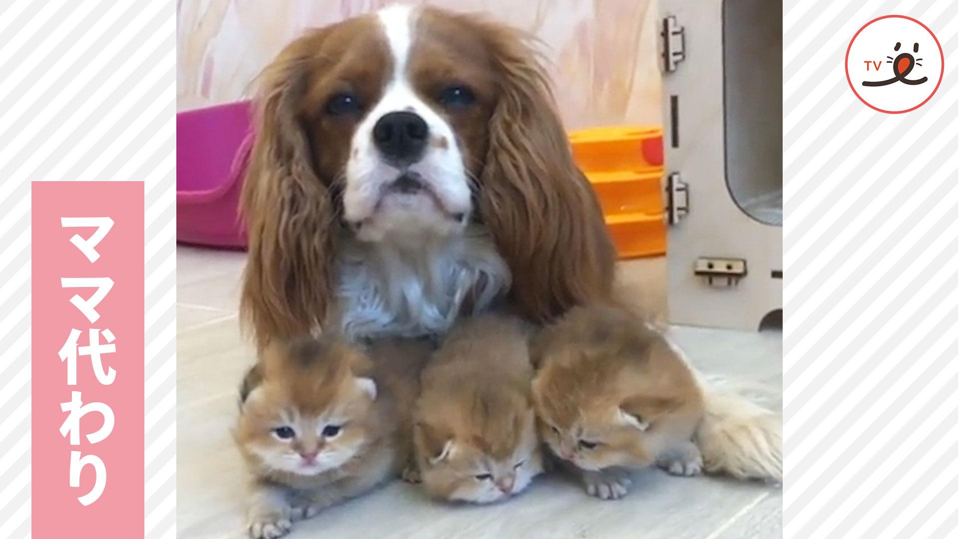 まるで母のよう💕 小さな子猫たちを、腕の中で守るワンコ🐶