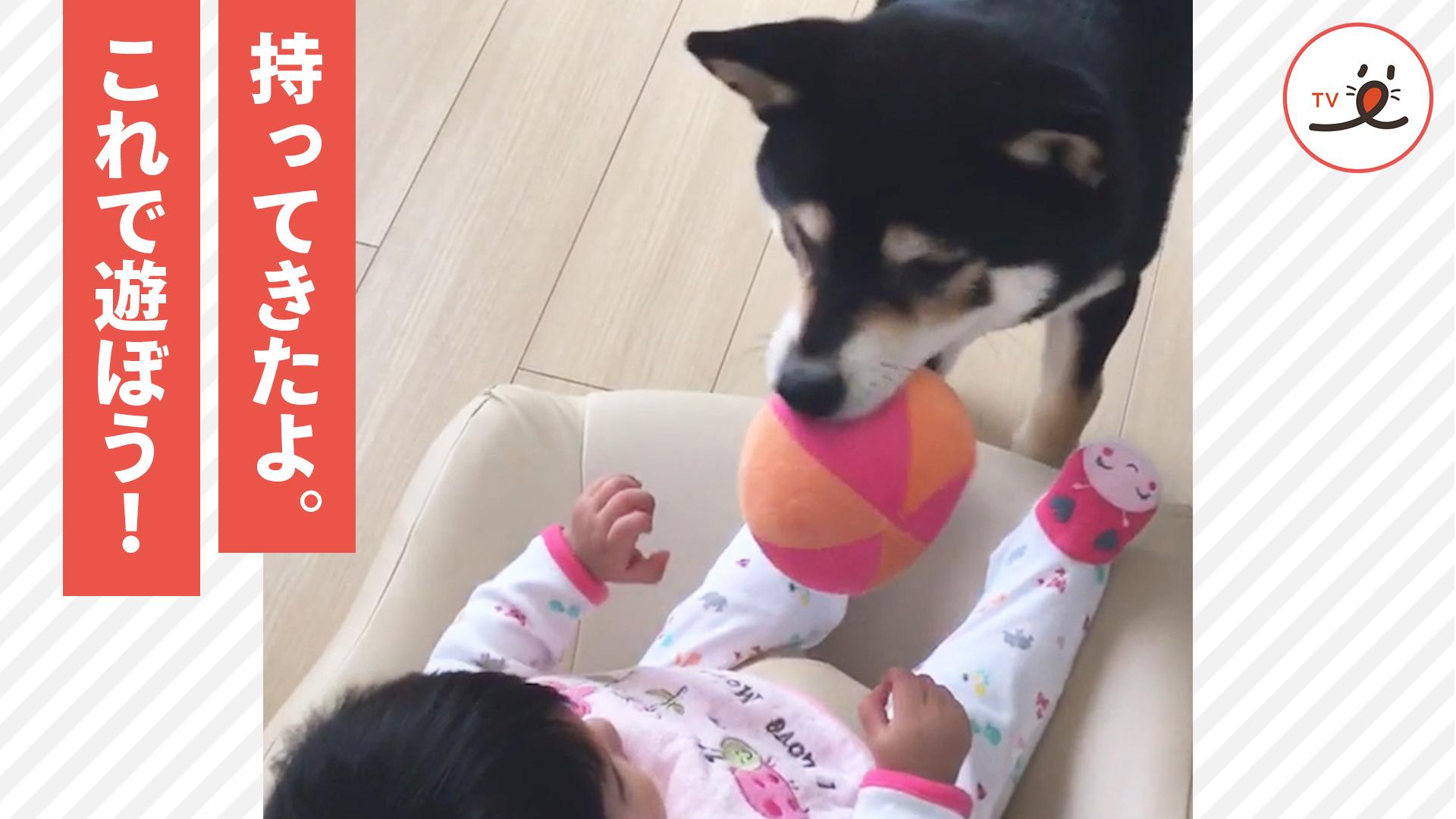 遊ぶために赤ちゃんの目の前にボールを持ってくるワンコ