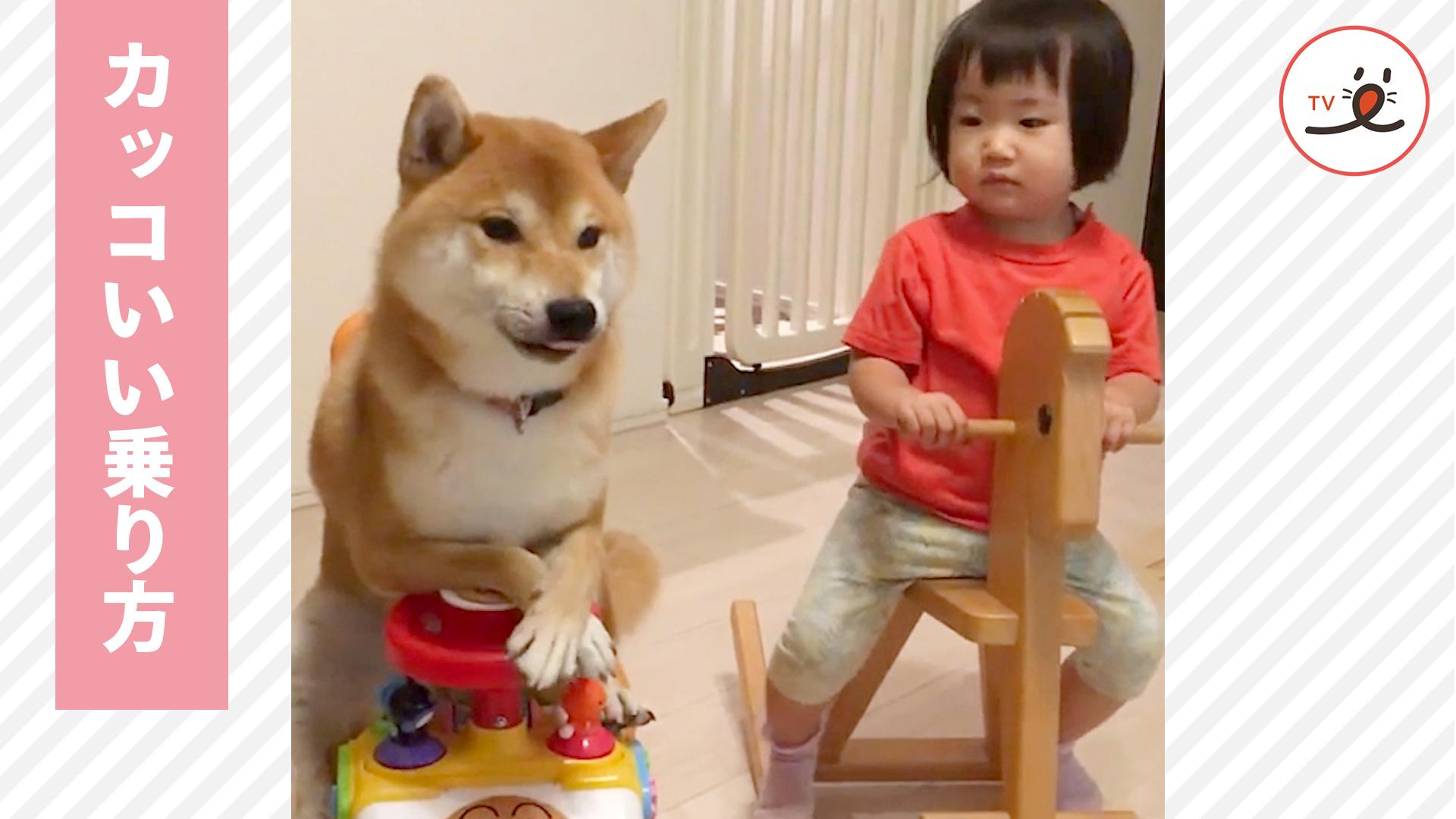 木馬に乗れた妹ちゃんにカッコいい乗り方を教えようとする柴犬お兄ちゃんだが…