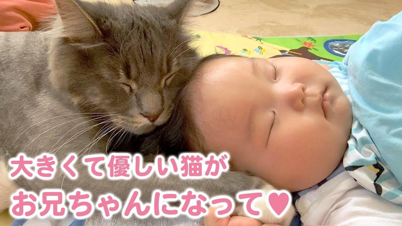 もふもふで大きな猫が赤ちゃんを見守る優しいお兄ちゃんになりました♪