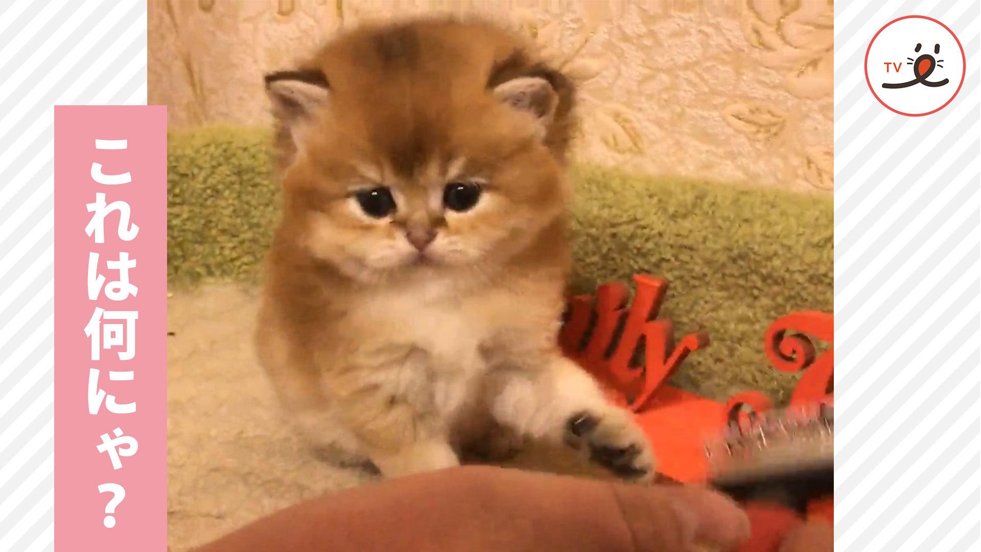 これは何にゃ⁉️ ブラッシングを拒む子猫