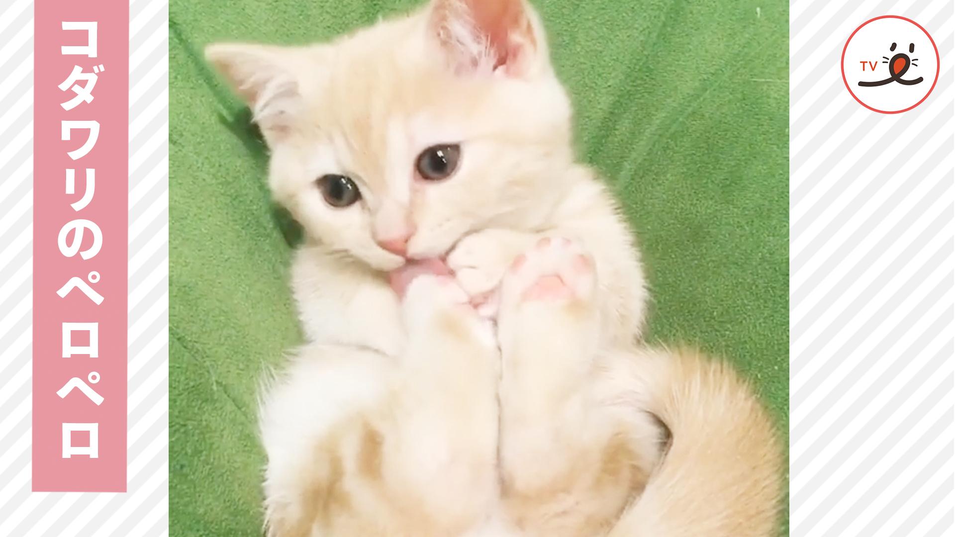 綺麗好きな子猫ちゃん😻 足の裏までペロペロするよ💕