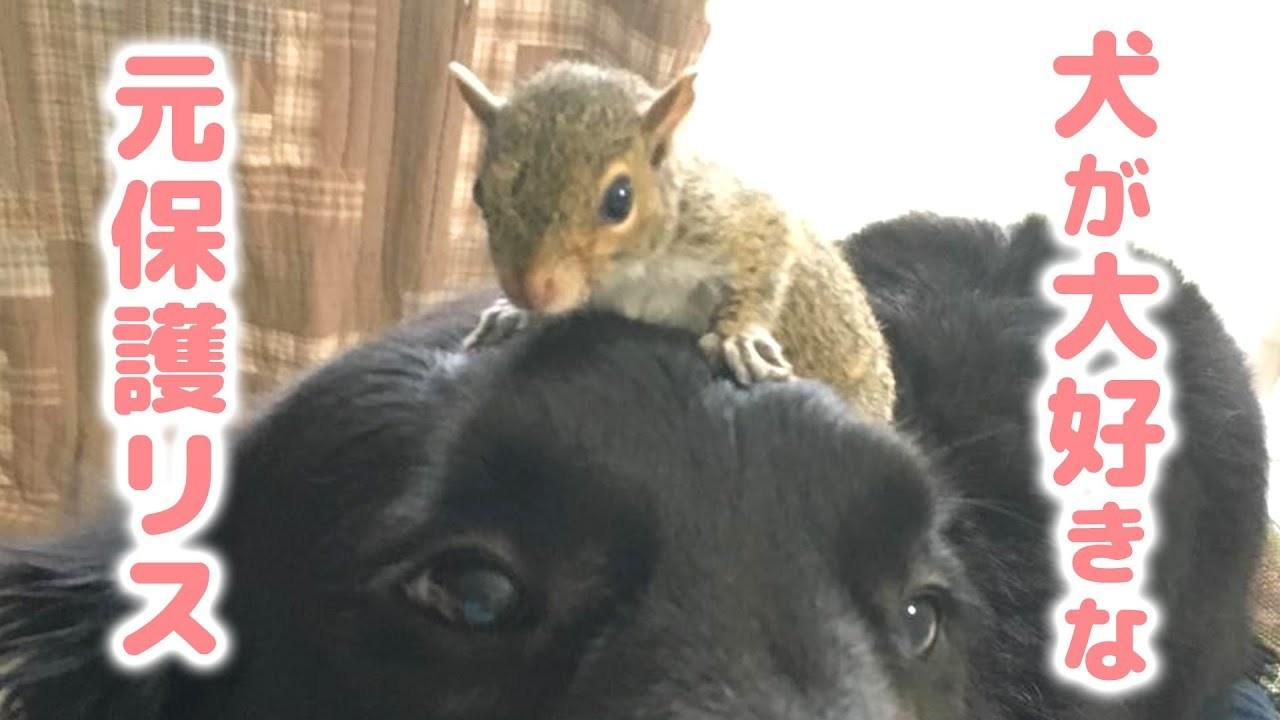 大型犬の優しさに触れて、犬好きになった元保護リス。種を超えた友情のお話。