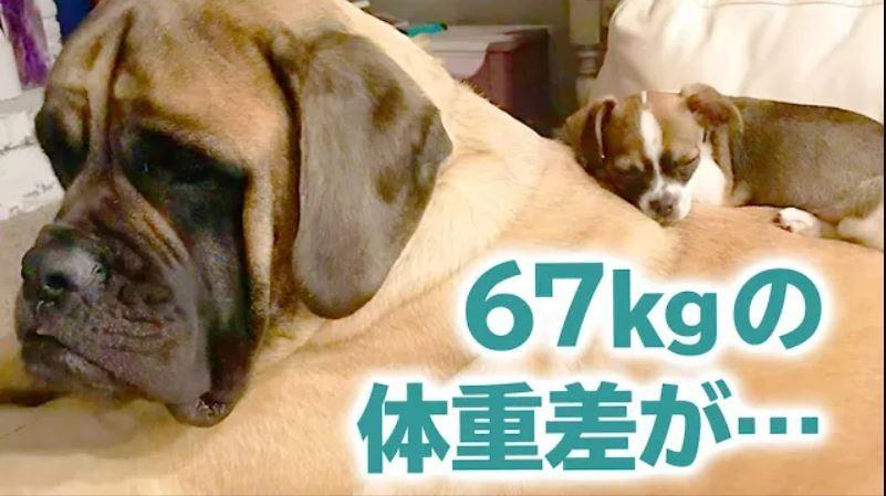 70㎏ある超大型犬がチワワと一緒に…! ふたりは優しさで繋がった最高のコンビでした♡