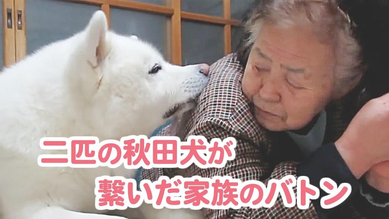 【秋田犬げんきとゆうき】二匹の秋田犬と家族の物語。愛のバトンは繋がって…