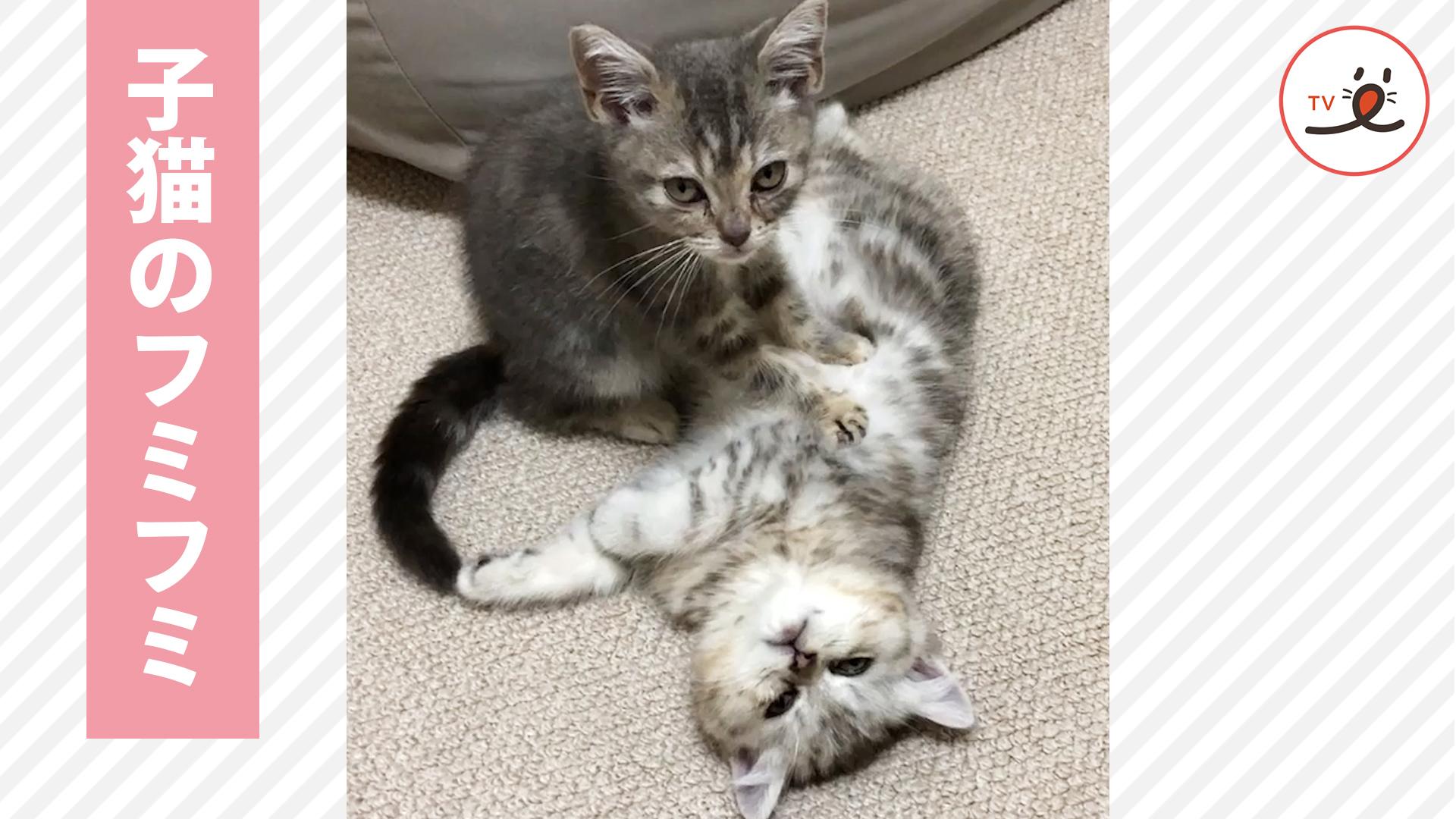 子猫の可愛いマッサージ💆♂️❤️ フミフミしてたら気持ちよくなってきて…😆