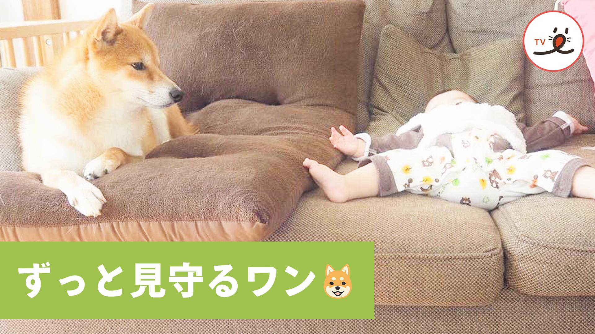アタシに任せて🐶 柴犬うみちゃんの子守り大作戦❗️