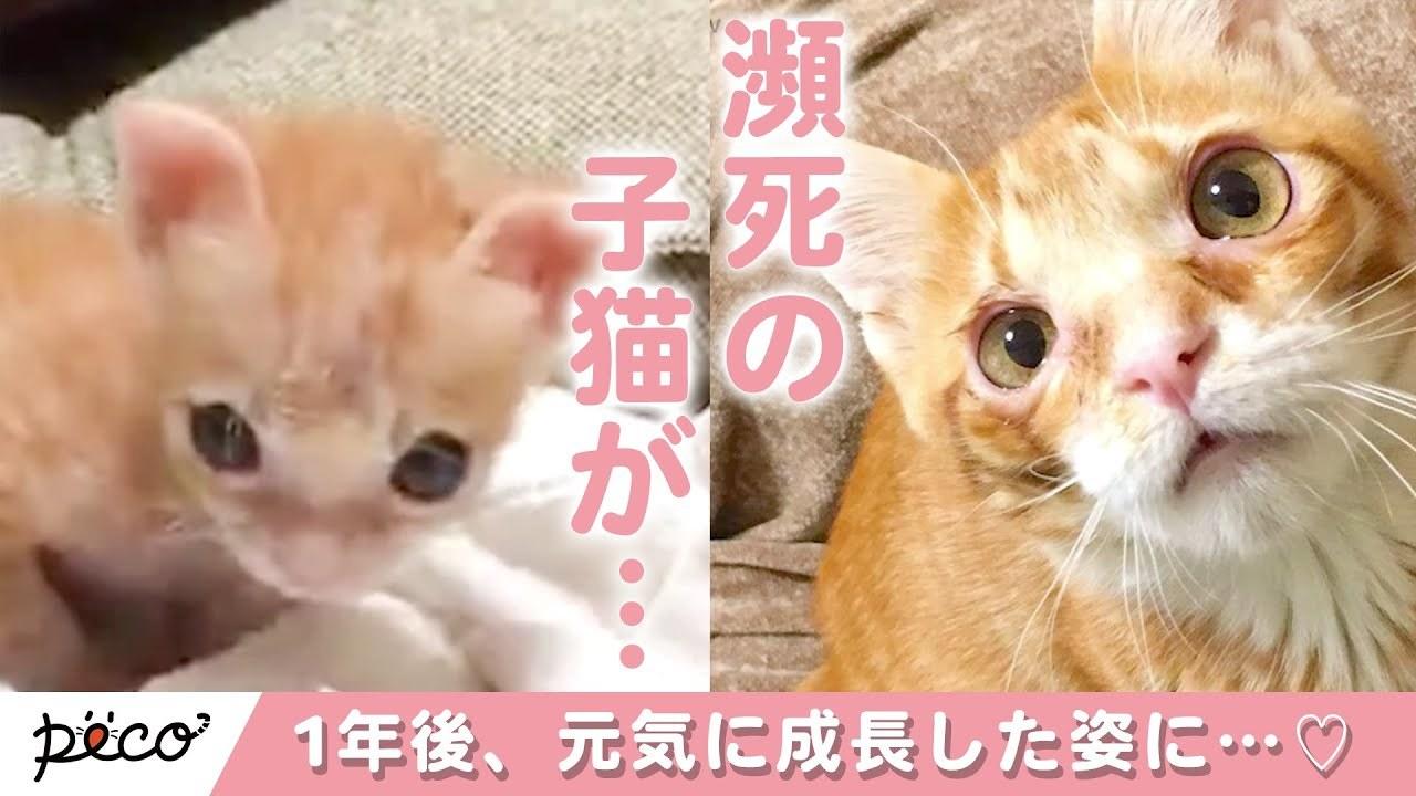 母猫に育児放棄された子猫みーちゃん。拾われて無事に大きくなり…♡