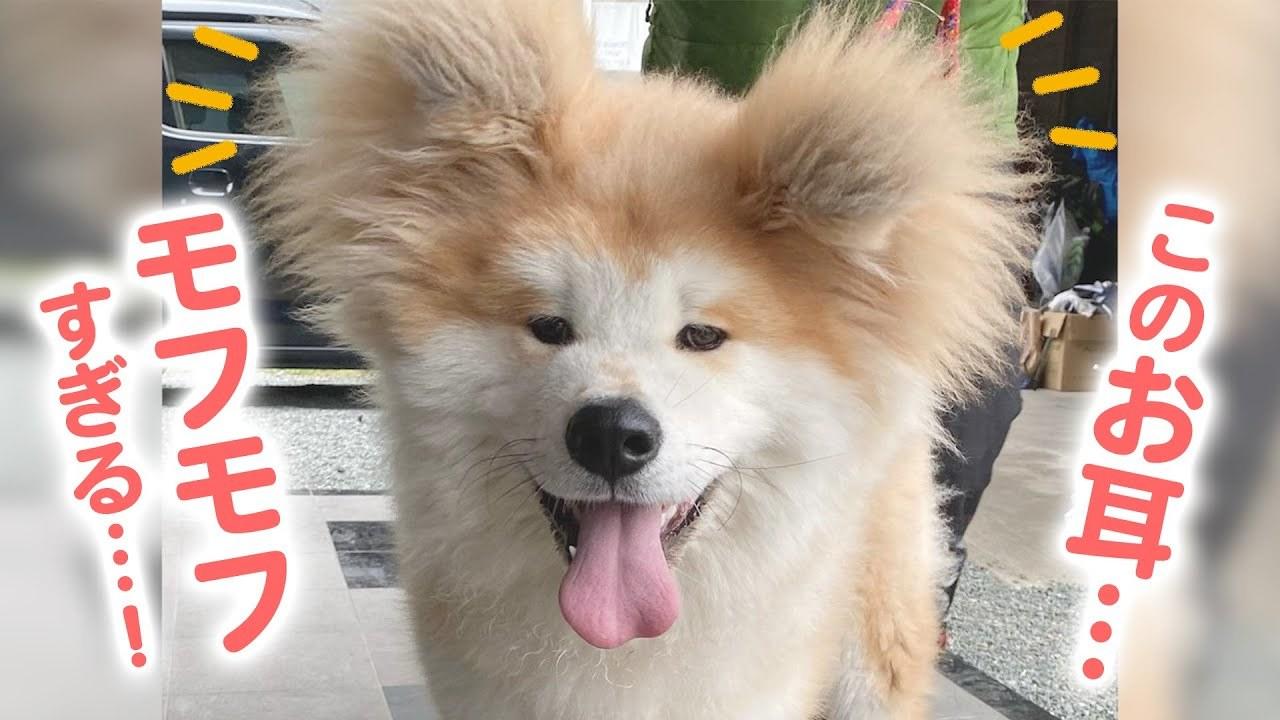 まるでクマさん!? モッフモフなお耳の秋田犬さん、その秘訣は…?
