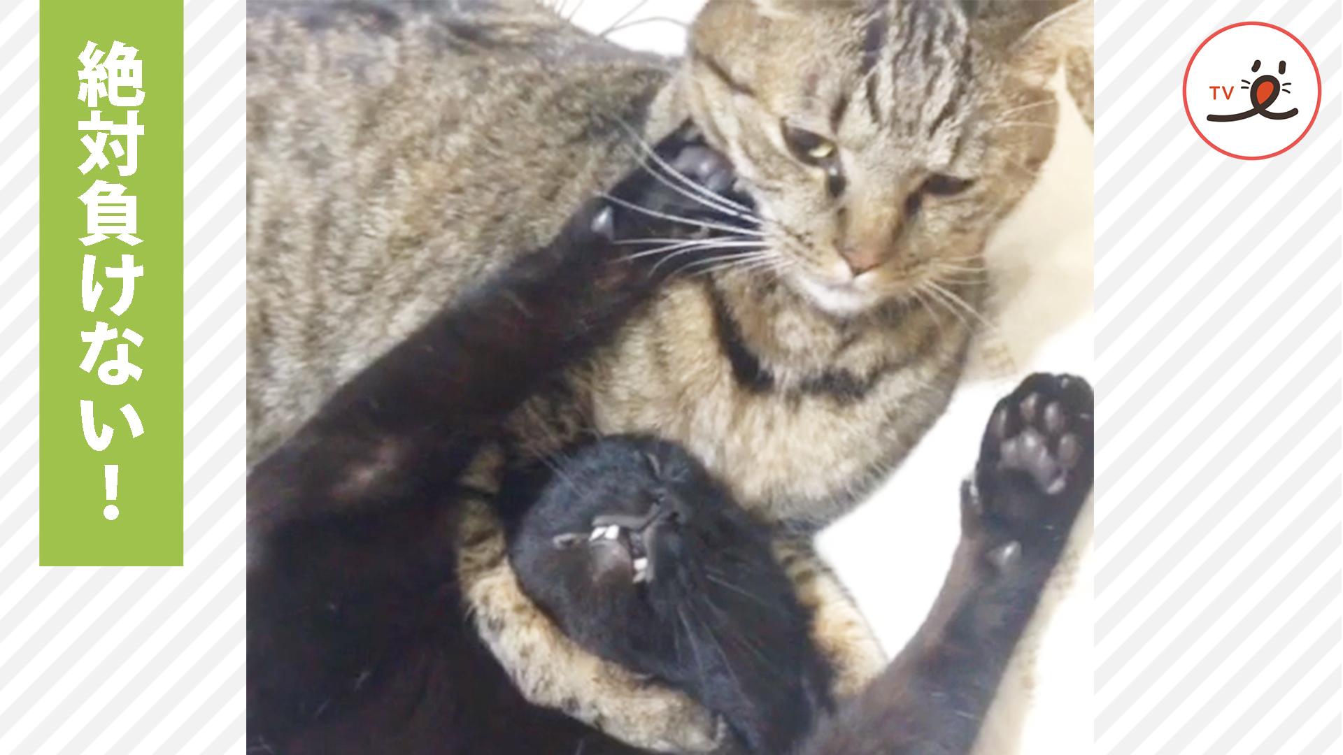 これぞニャンプロ!😆 兄猫と弟猫の負けられない戦い✨