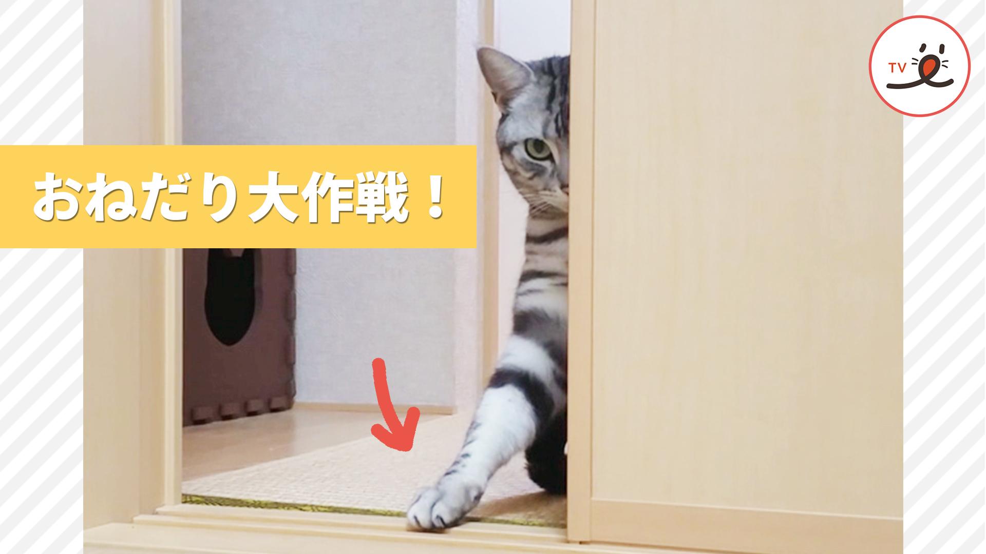 おねだり上手♡ 猫さんの思わずおやつをあげたくなってしまうおねだり🐾