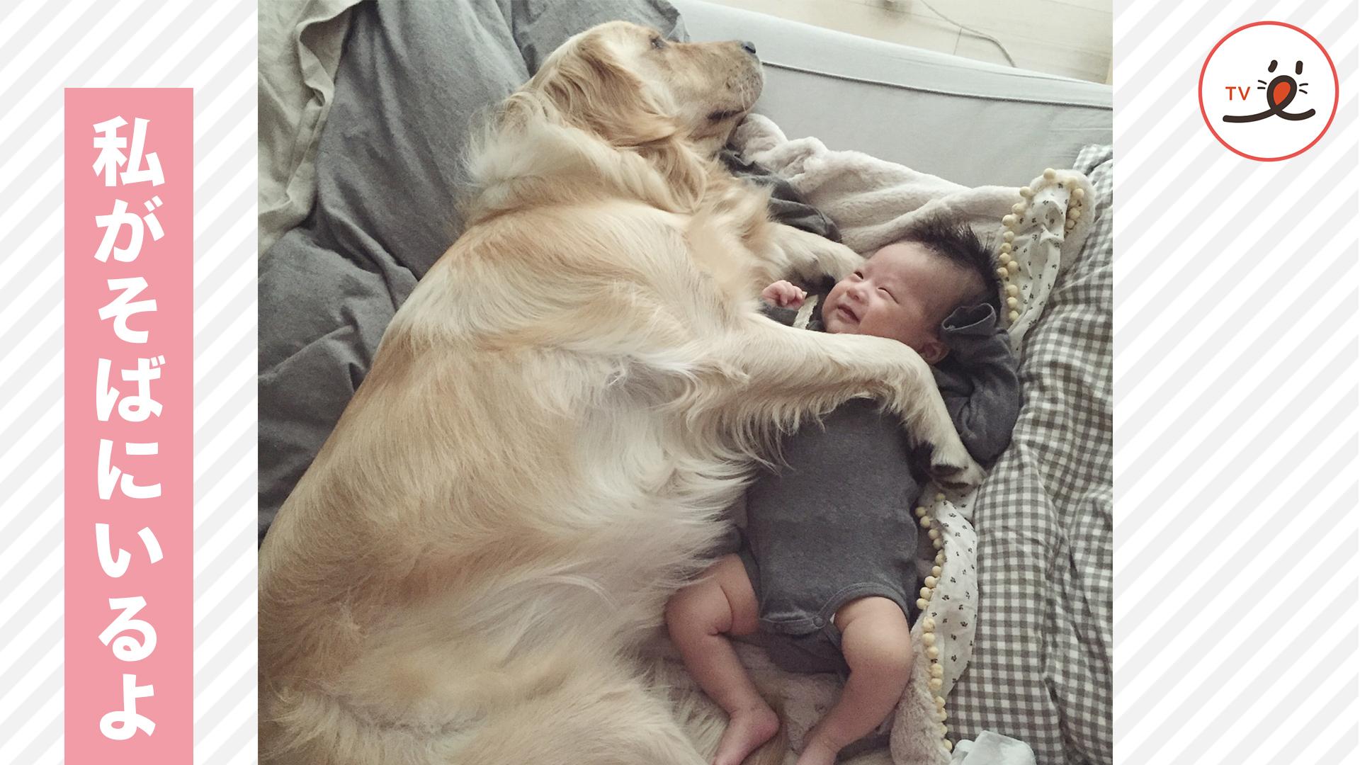 今日も一緒に寝よう😌 優しいお姉さんレトリバーと赤ちゃんの日々