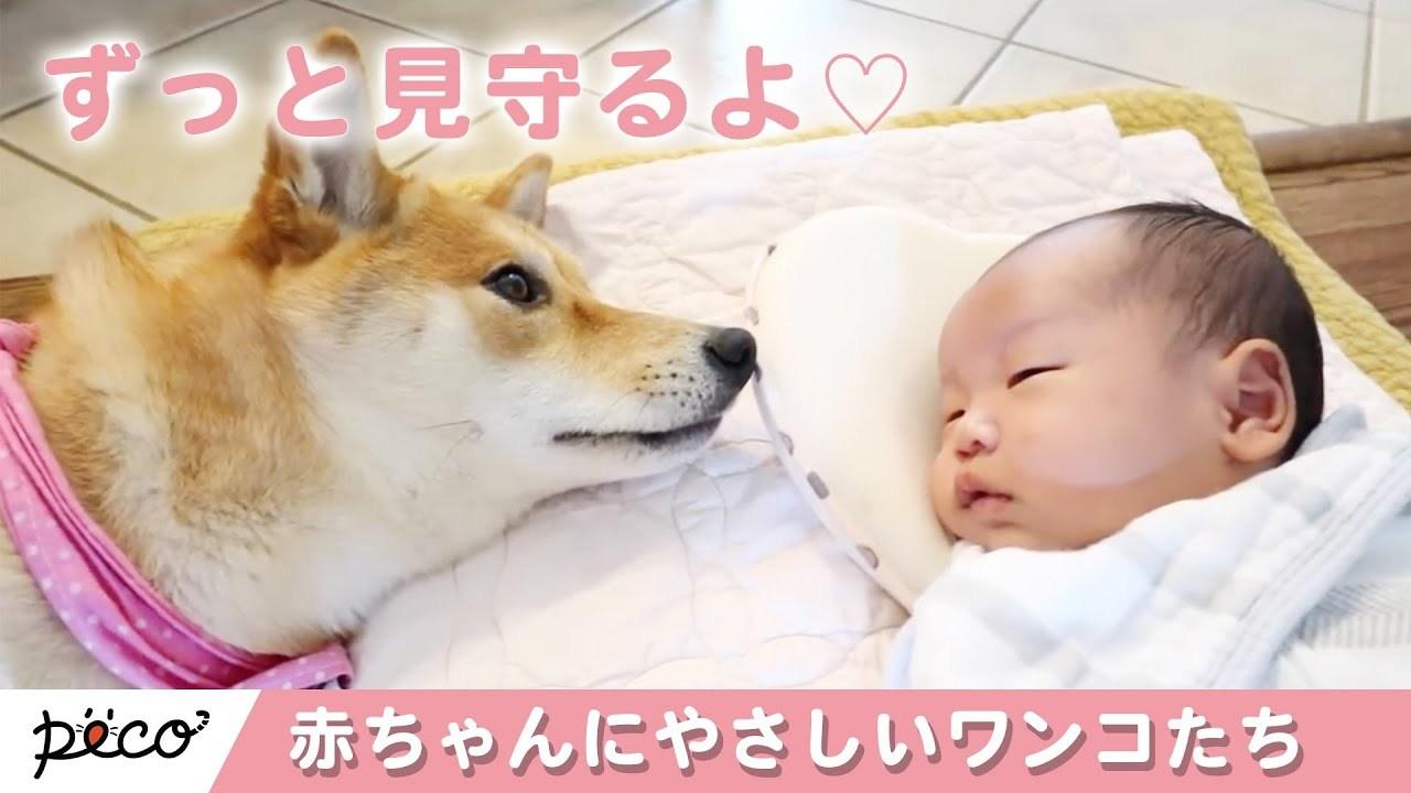 [かわいい犬]赤ちゃんにやさしく接するワンコたち