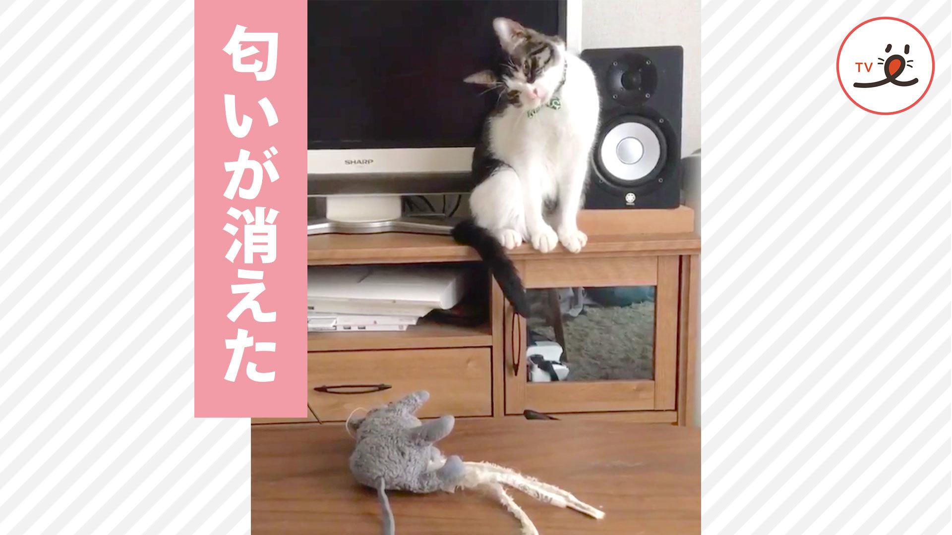 オモチャを洗ってあげたら…😅 いつものオモチャに疑問を持ってしまった猫ちゃん💖