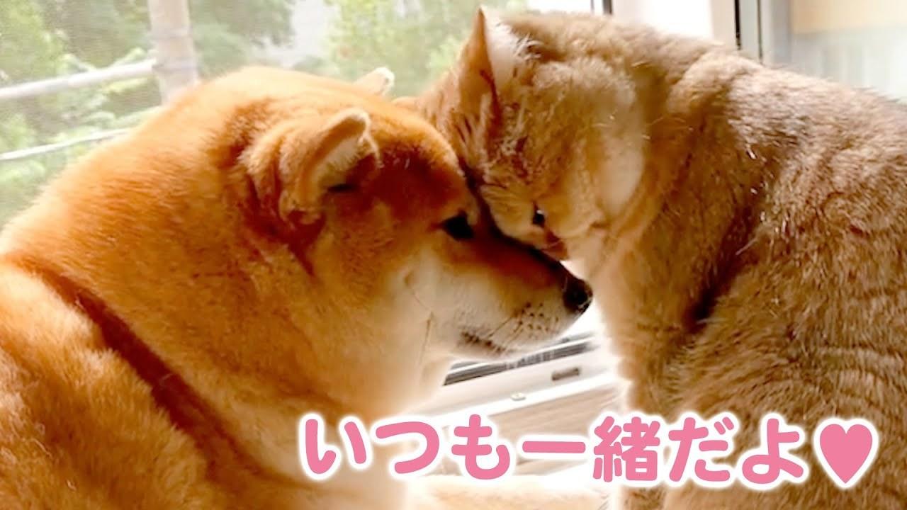 【仲良しなふたりにほっこり】優しい柴犬お姉さんと甘えん坊な妹猫のほのぼのな日々をお届け♪