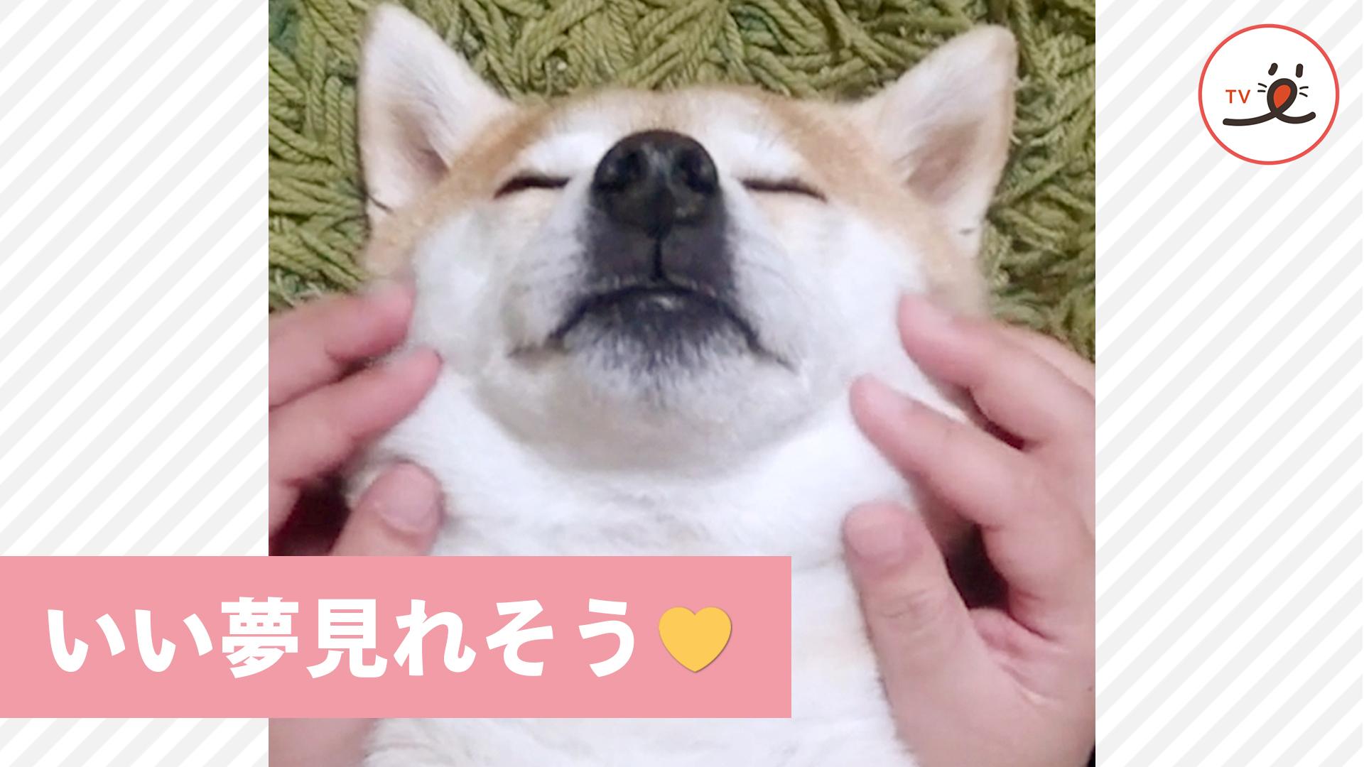 ママの極上マッサージにウットリ😚 柴犬さんの表情が可愛すぎる💕