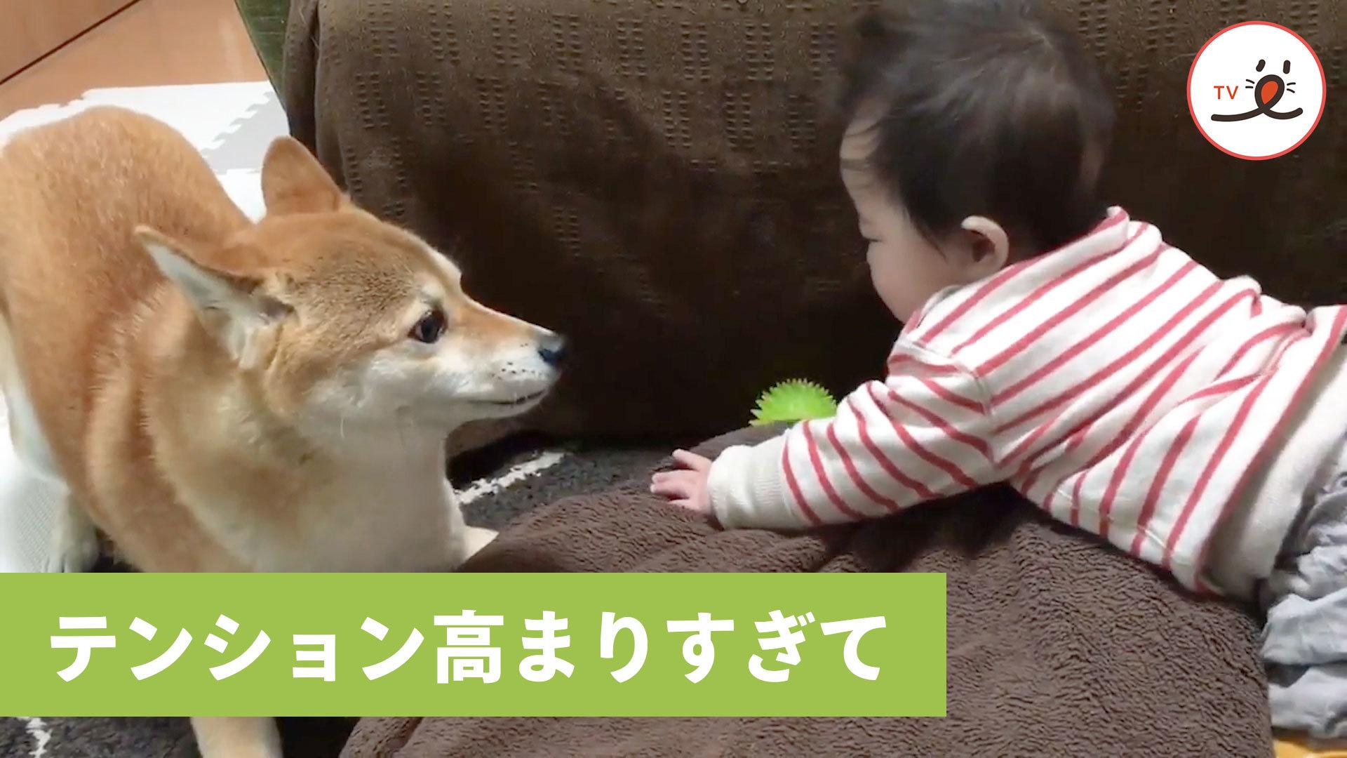 テンションMAX‼️でも赤ちゃんが遊んでくれなくて…😅 我に返った柴犬🐶