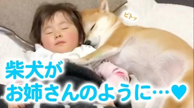 赤ちゃんが産まれたら、柴犬さんが最高に優しい「お姉さん」になった!