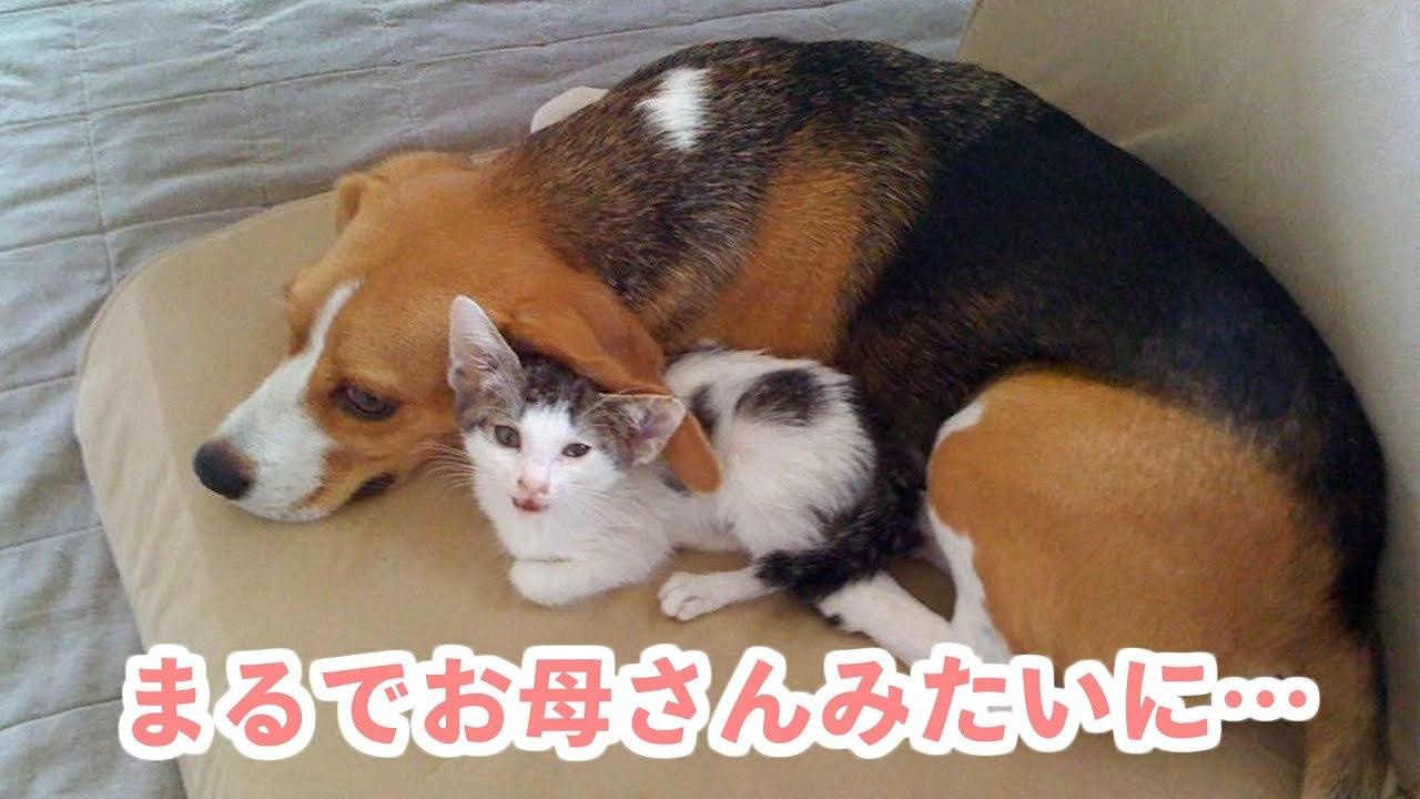 お家にやってきた小さな保護猫を見守る、一匹のビーグル犬。優しく育まれる家族の絆♡