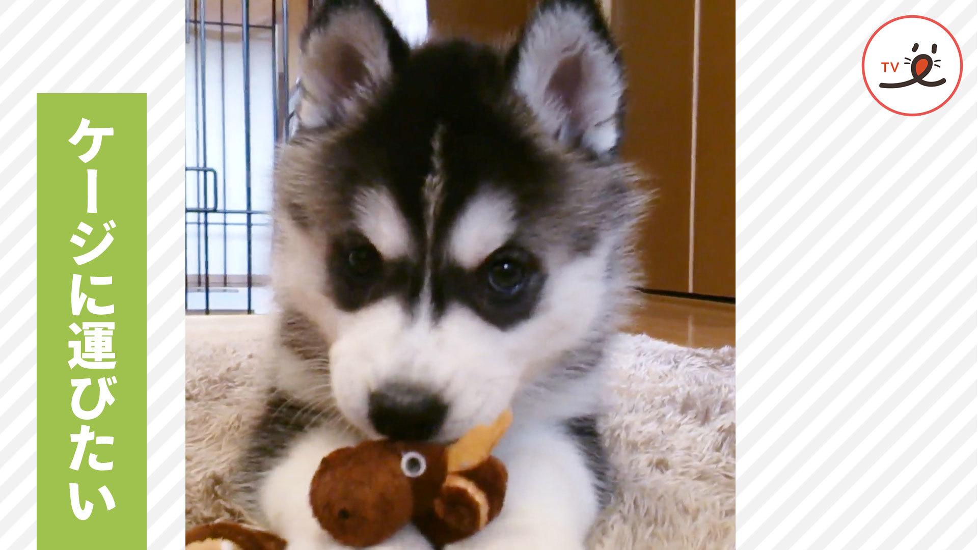 お気に入りのおもちゃをケージに…💓 ハスキーの子犬の、かわいすぎる奮闘🙌