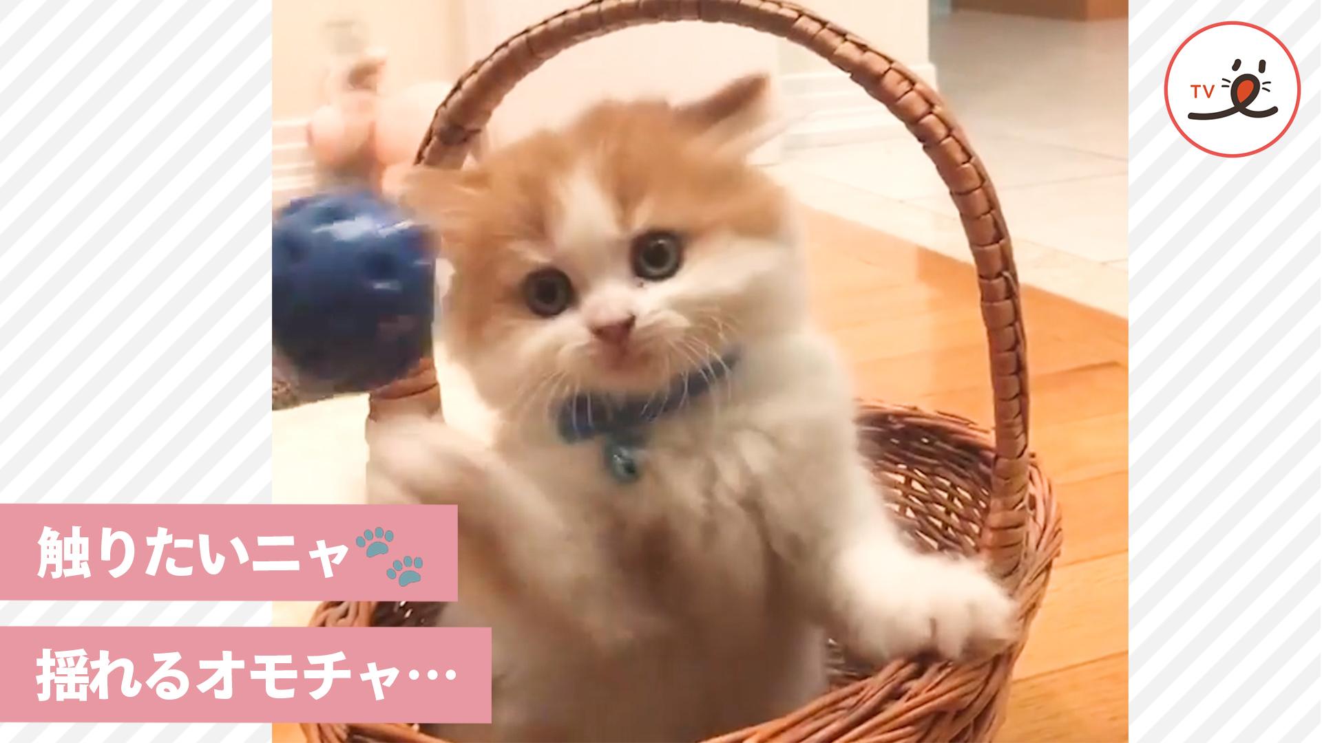 ついつい体が動いちゃう…♪ 目の前で揺れるおもちゃに夢中な子猫ちゃんが可愛すぎ!