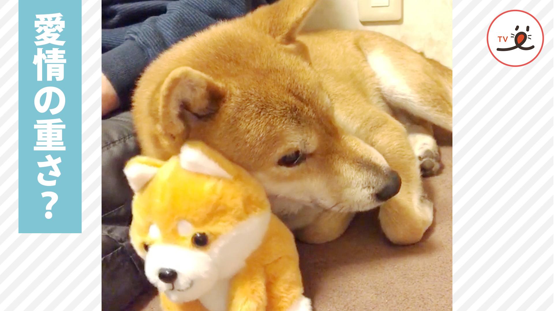 オモチャのワンコに甘える柴犬がカワイイ😍🐕