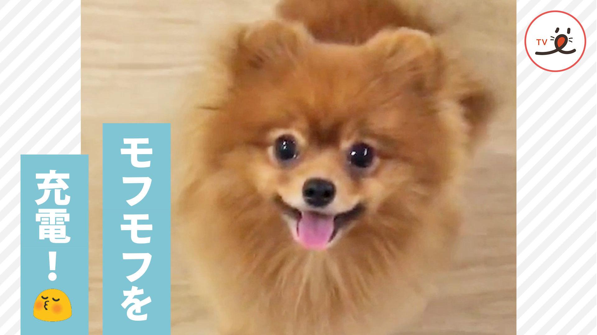 かわいいの詰め合わせ✨ ポメラニアンの愛らしすぎる姿に癒される〜!