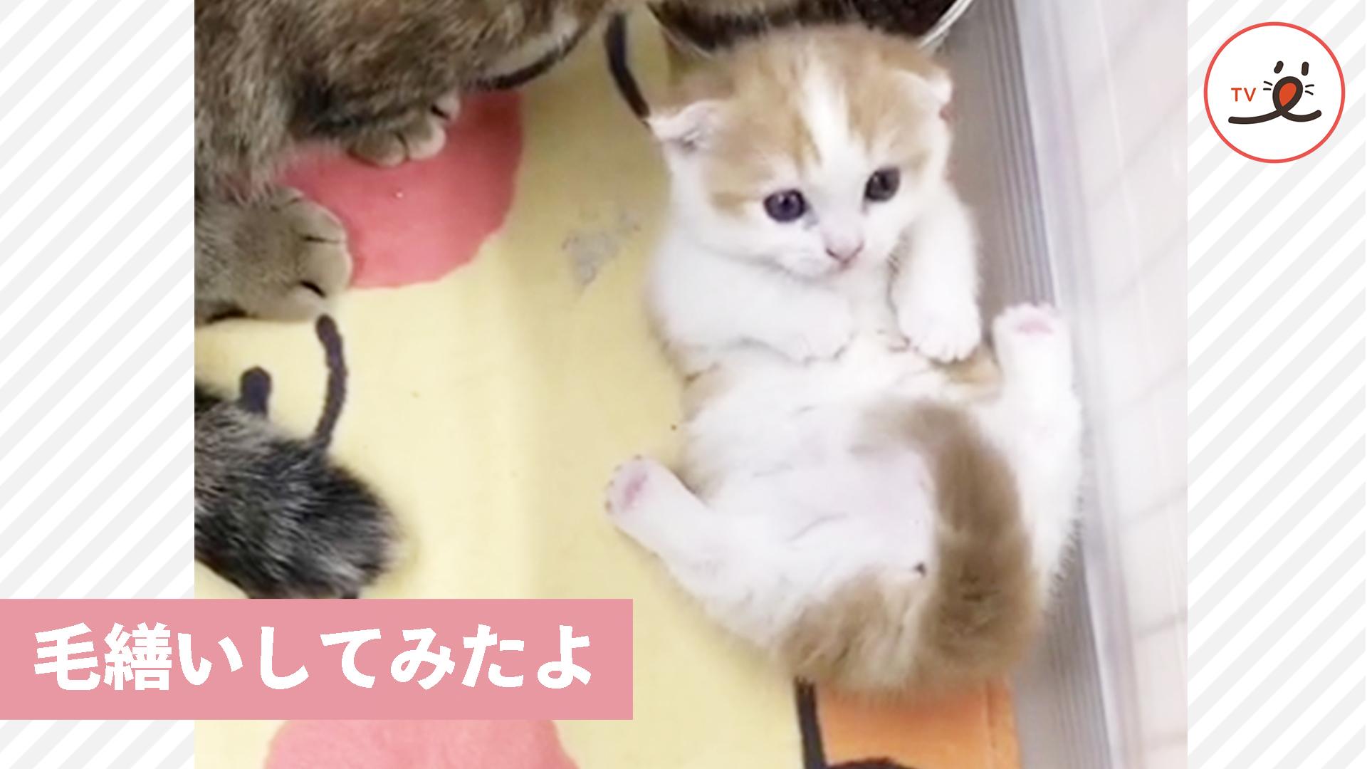 子猫ちゃんが初々しい毛繕い💕 ぎこちない動作が可愛い😍