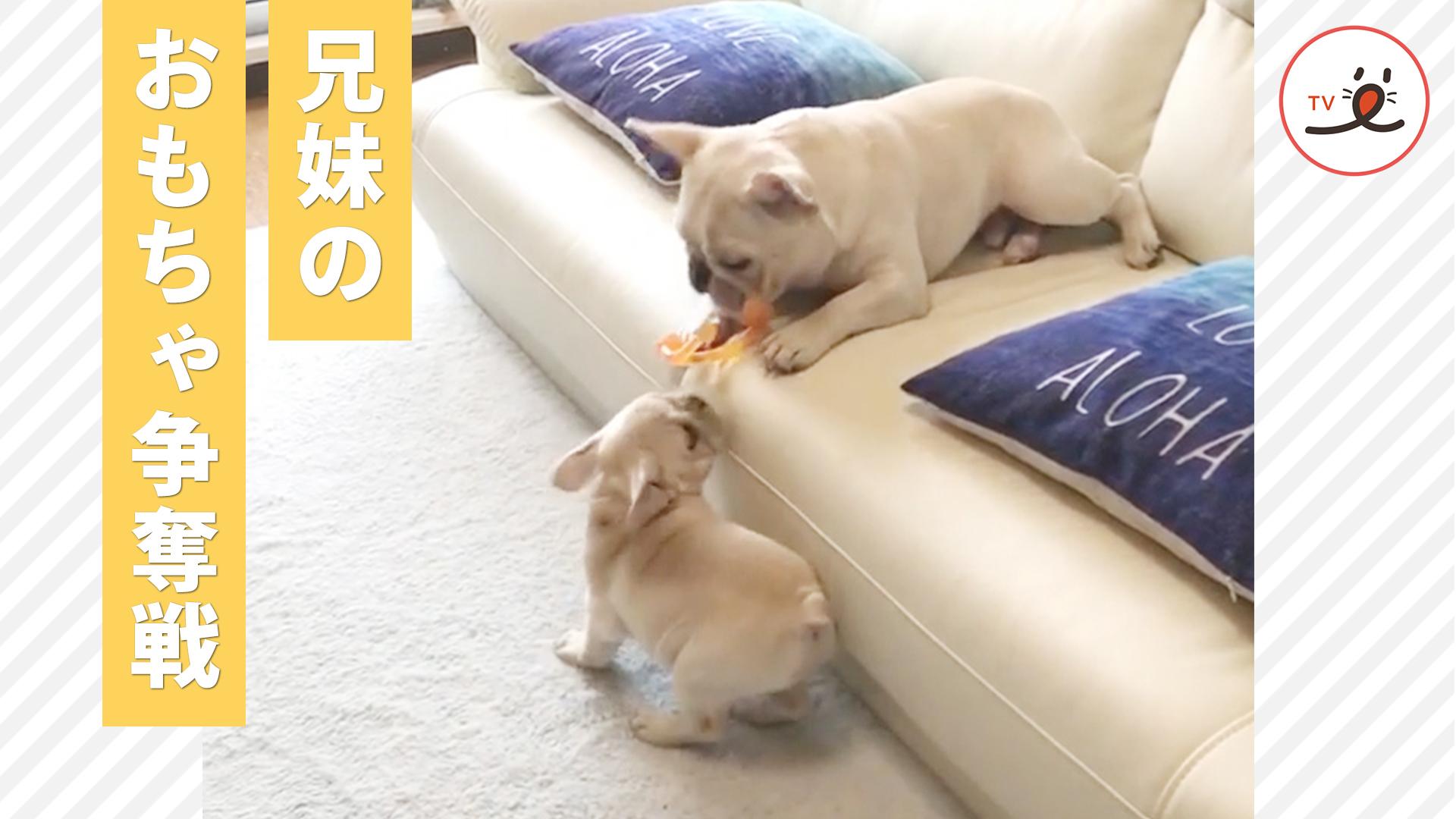 白熱の戦い💥 ドジっ子なお兄ちゃんと、小さな体で頑張る妹ちゃんのおもちゃ争奪戦😅