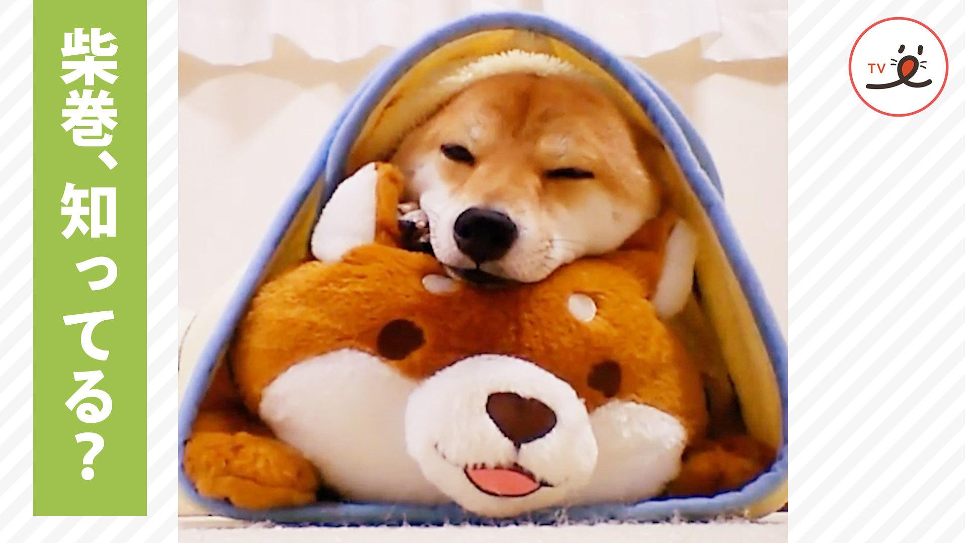 ぬいぐるみと毛布であら簡単! 柴犬ちゃんの柴巻🐾