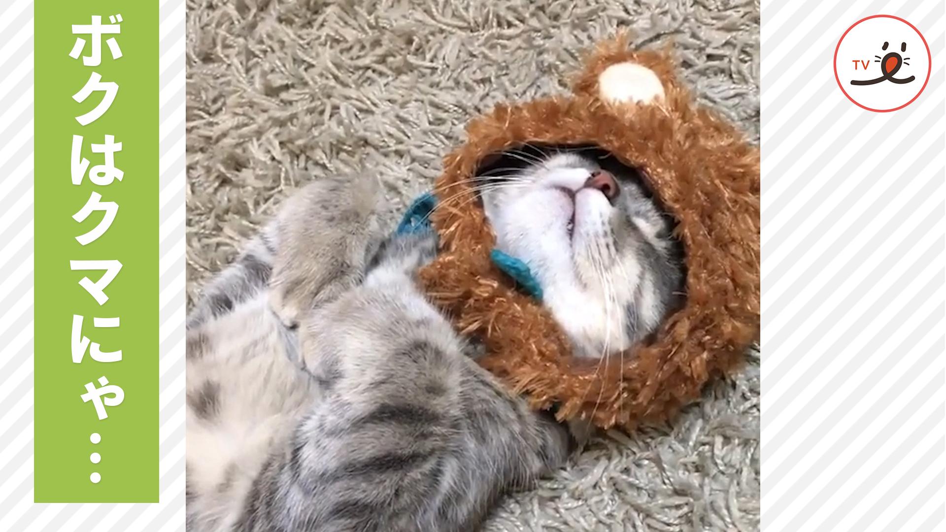 むにゃむにゃ… クマの帽子を被ったままぐっすり眠る猫ちゃん💕