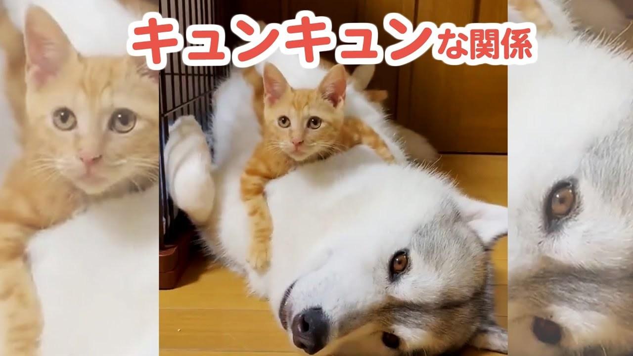 猫さんたちに怒られてばかりだったハスキー犬が、新入り子猫ちゃんとキュンキュンな関係に♡