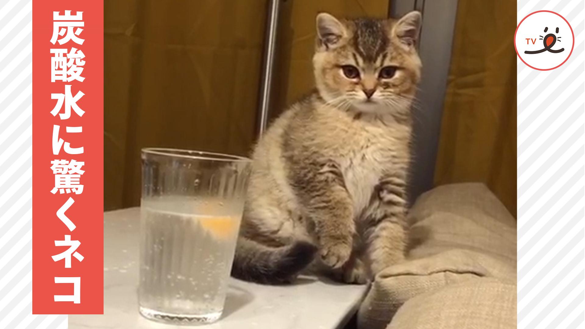 炭酸水を初めて触り、弾けるさまに驚く子猫が可愛い😽