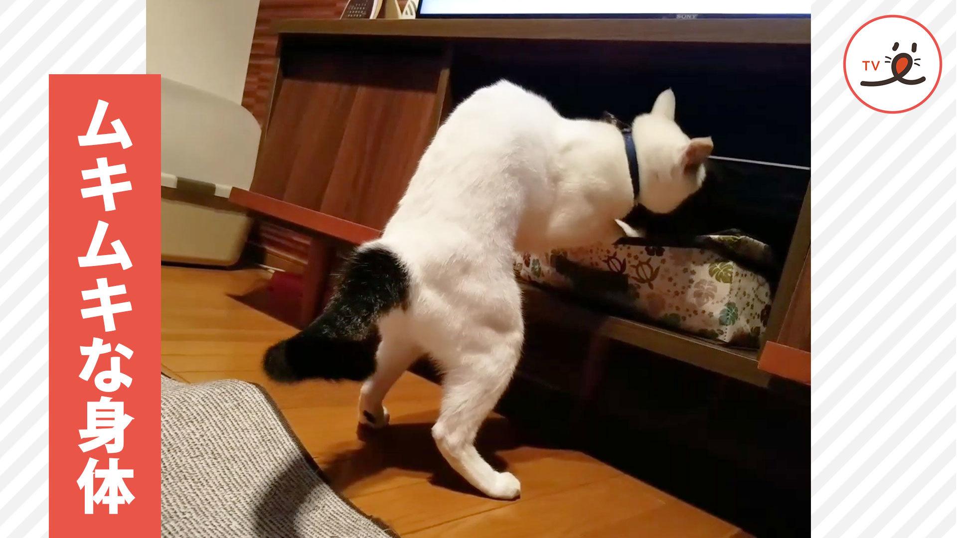 飼い主さんもびっくりする😲❗️ 猫さんのスゴイ身体💪🐈🤣
