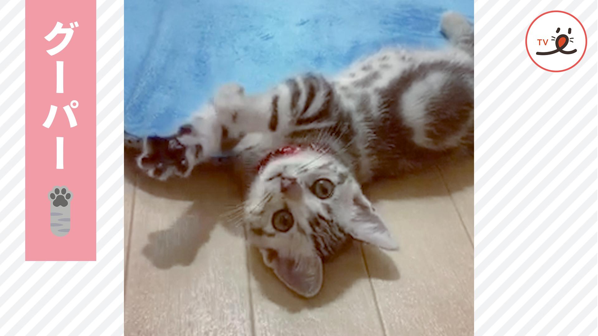飼い主さんの出待ちに成功してエアふみふみしちゃう子猫が可愛すぎる😍