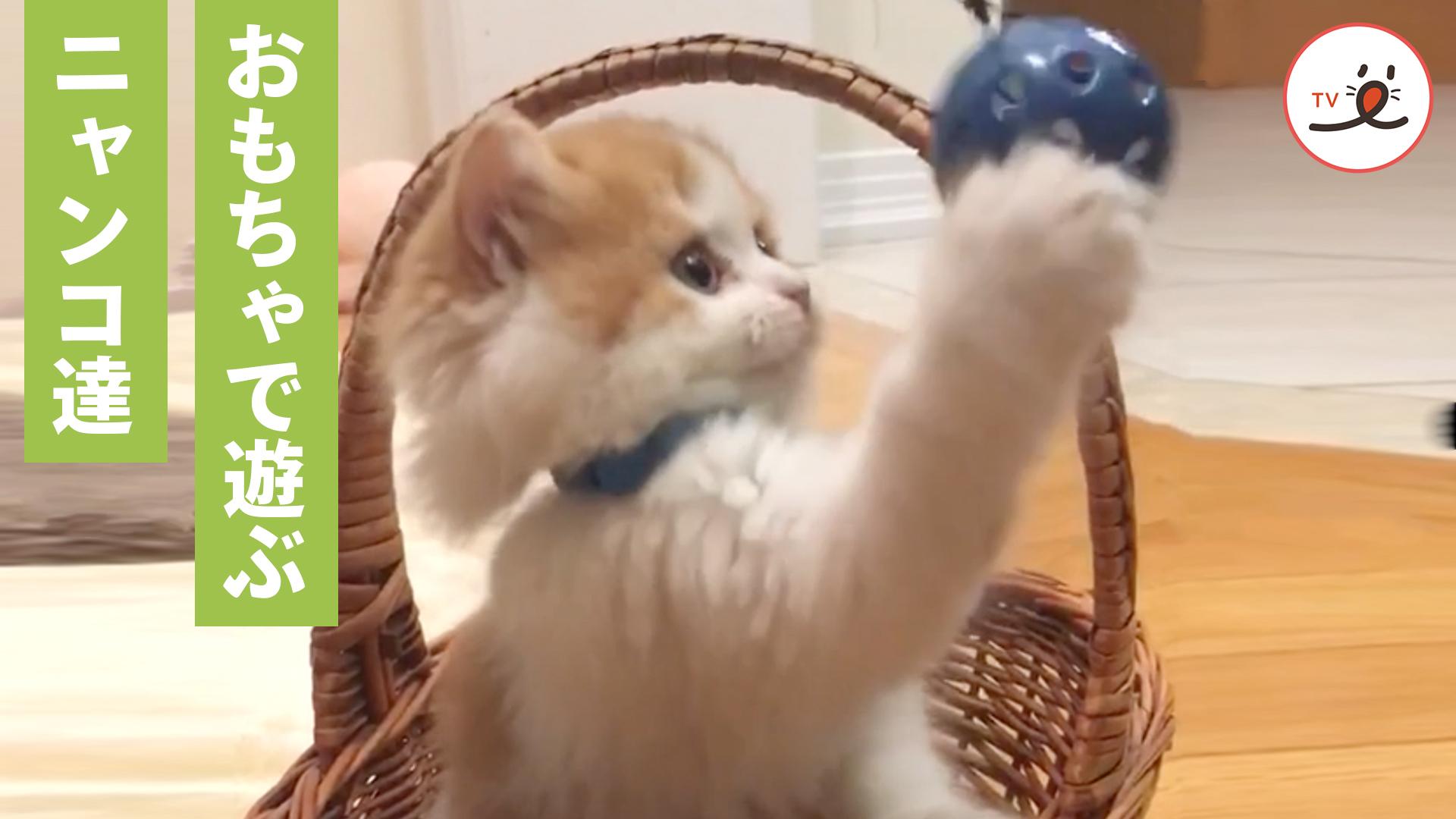 おもちゃに興味津々👀 楽しそうに遊ぶ天使のような子猫たち💕
