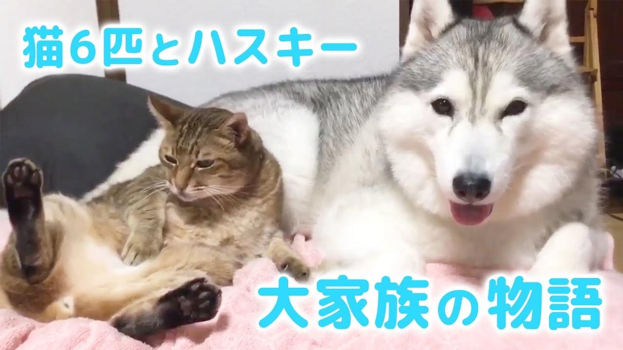 これがうちの大家族です! 6匹の猫とハスキーのドタバタほっこりな日常♡