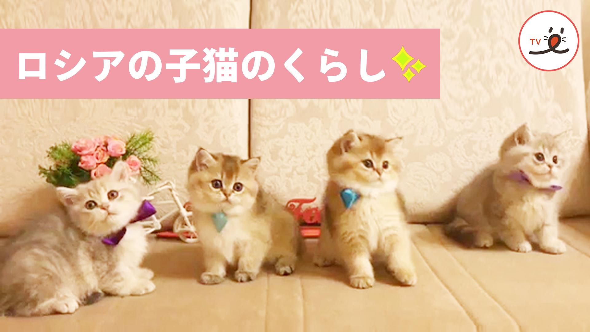 ロシア生まれのふわふわ子猫たち😻 愛さずにはいられない💕