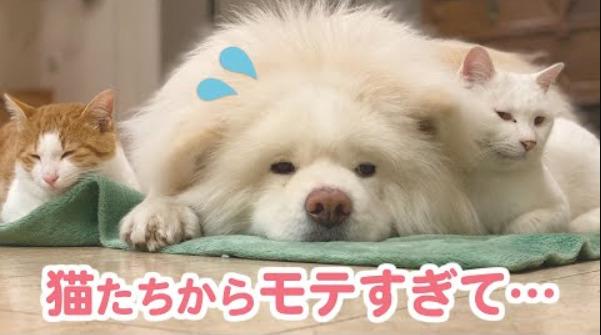 【モテすぎる】秋田犬さんの「隣のポジション」をめぐり、日々バトルを繰り広げる兄弟ニャンコたちに…😂