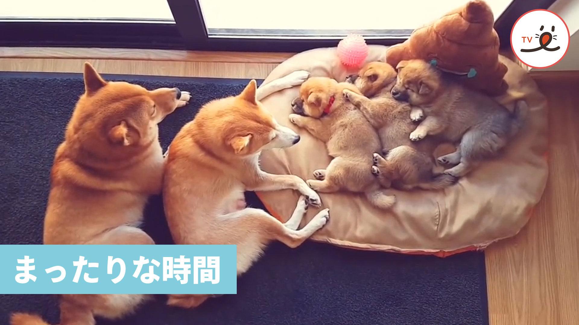 ころっころの柴犬パピーと、パパ柴ママ柴❤️ 家族でお昼寝ってしあわせだね🌸