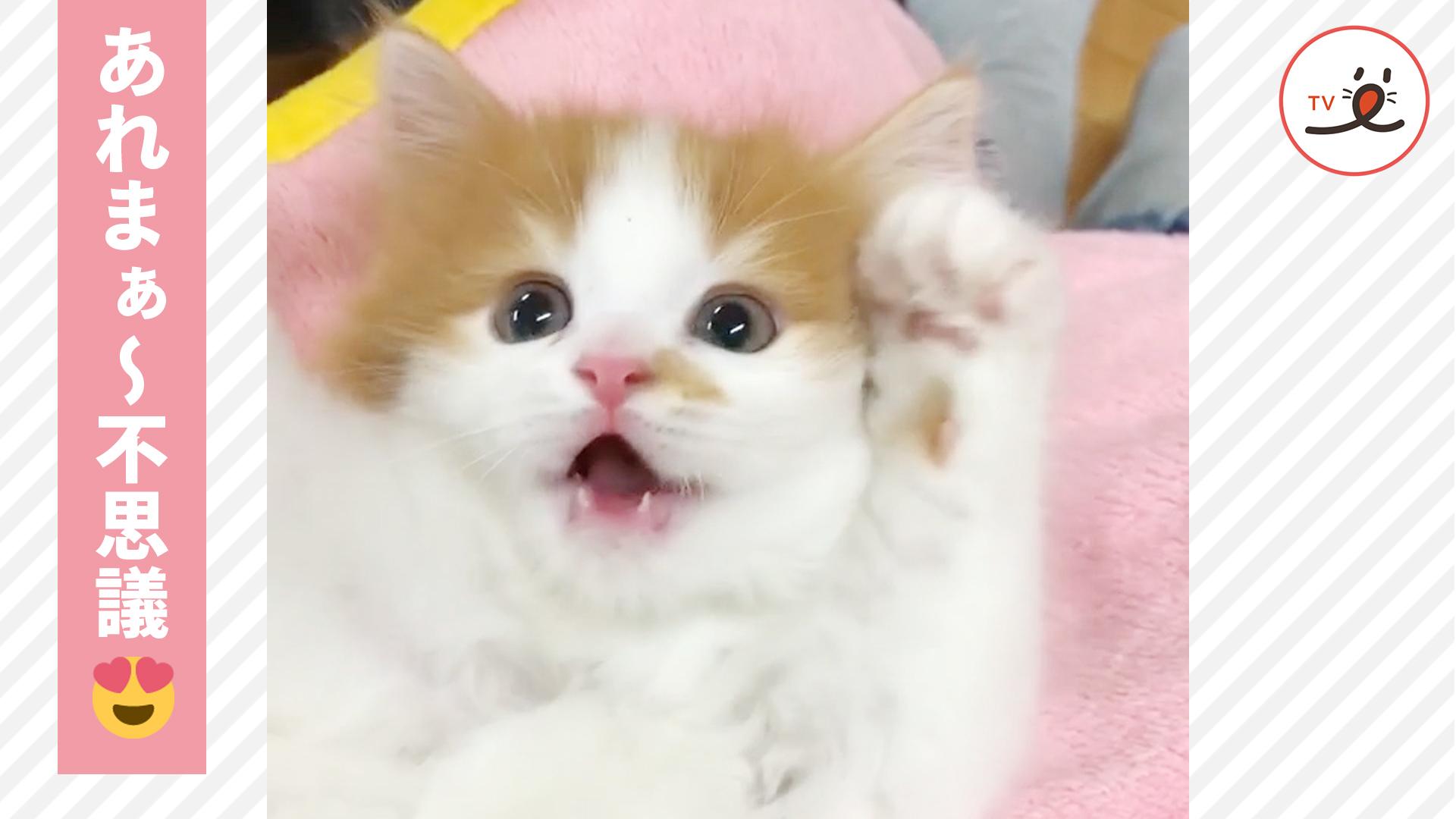 あれまぁ〜不思議🤔 「こちょこちょ・ぱっ」でバンザイしちゃう子猫ちゃん😍🌸