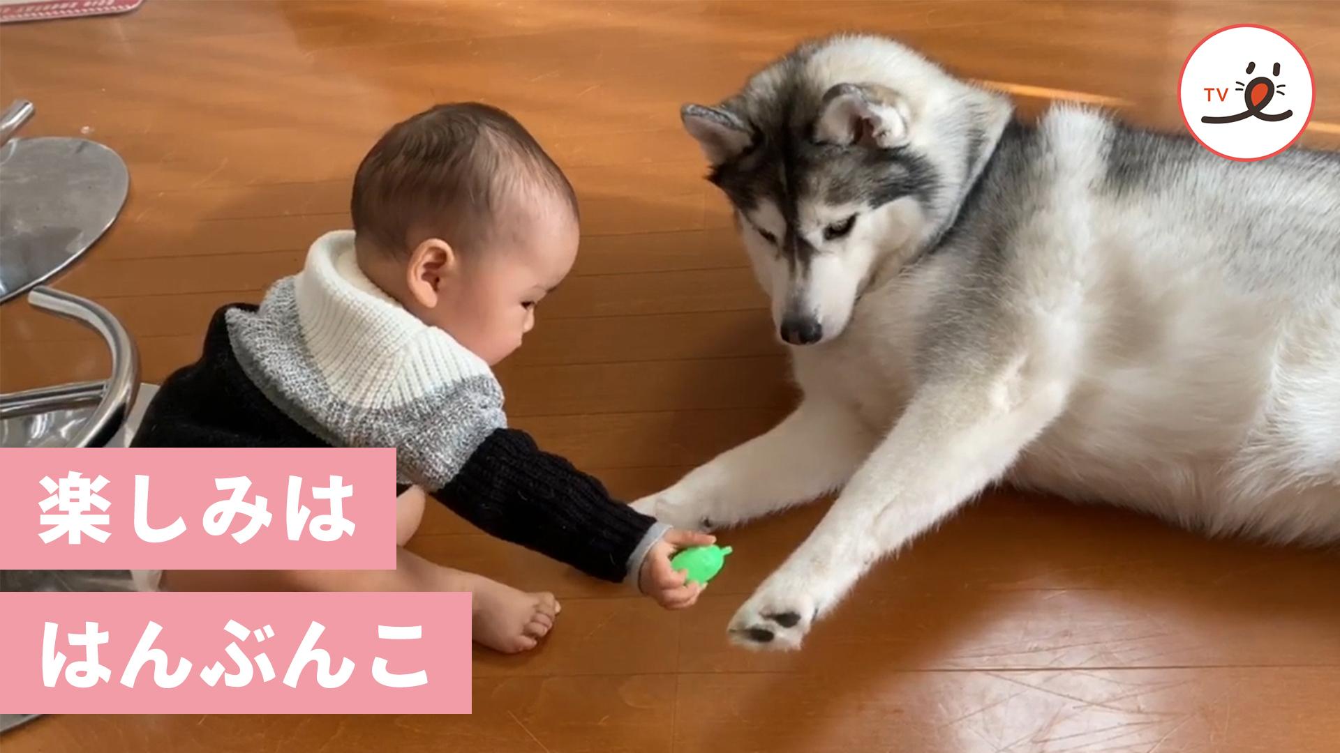 赤ちゃんと優しいハスキーさんの、ひとつのおもちゃをめぐるやりとりに…😚💕