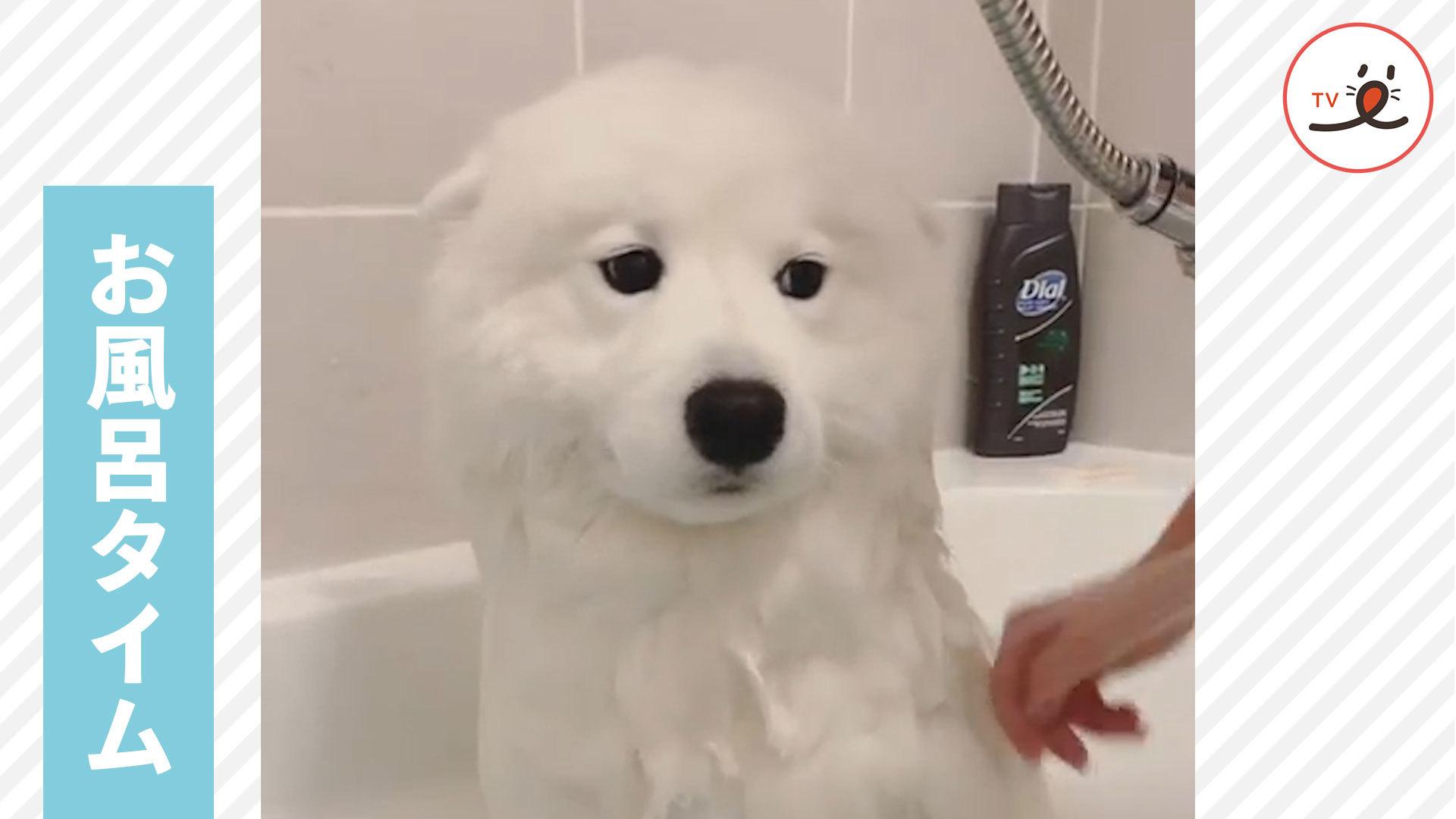お風呂に入るサモエド犬🚿 その何ともいえない表情がかわいい😶❣️