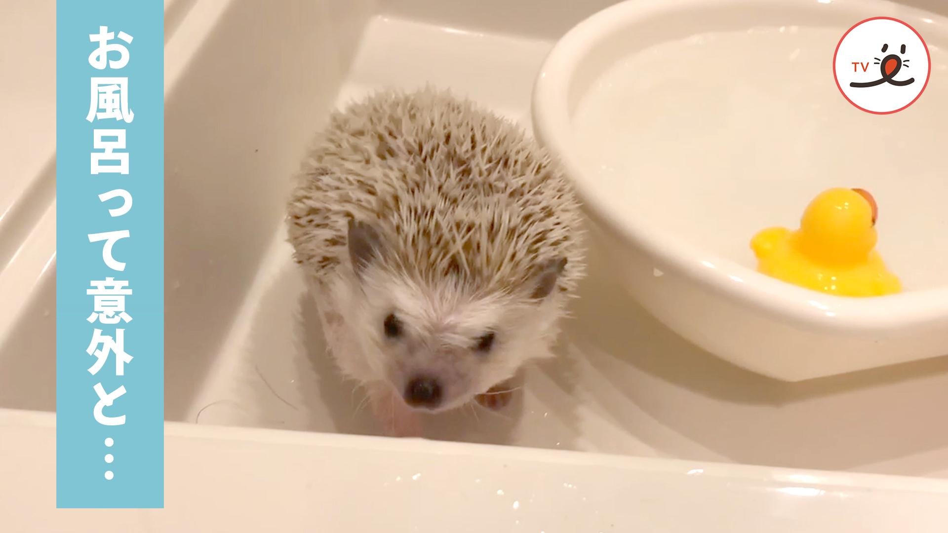 お風呂って意外と気持ちいいかも💕 お風呂の気持ち良さを知ったハリネズミ✨